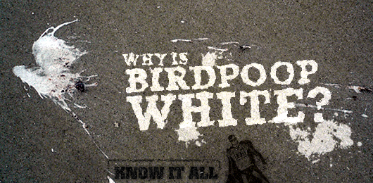 Know It All: Why is Bird Poop White?