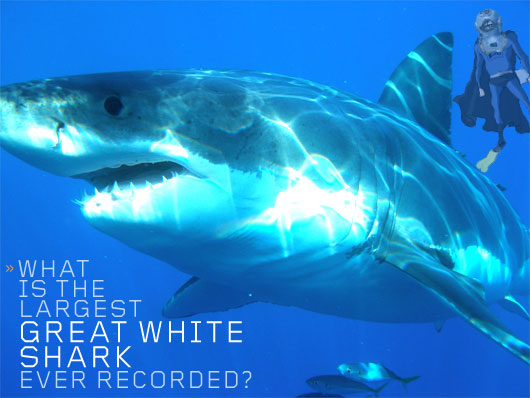 Largest Shark Ever Seen http://www.primermagazine.com/2010/field-manual/what-is-the-largest-great-white-shark-ever-recorded