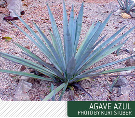 agave azul plant