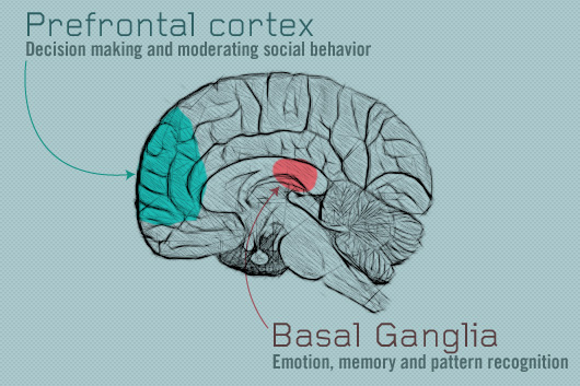 Prefrontal cortex diagram of basal ganglia