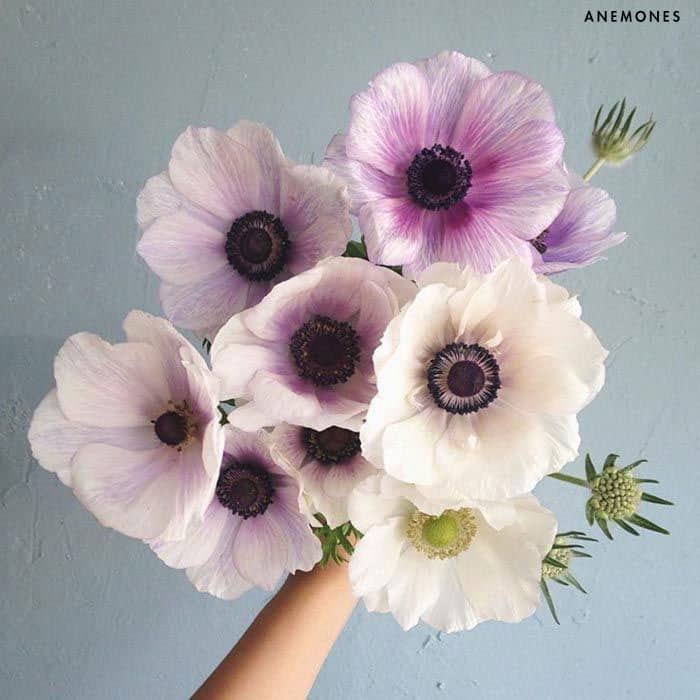 anemones flowers history of roses