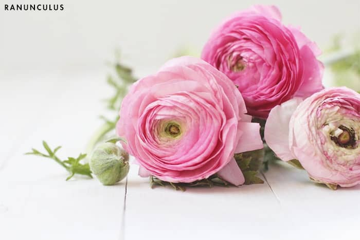 flowering ranunculus history of roses