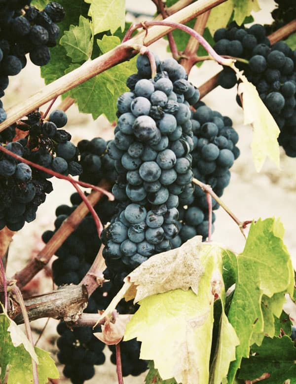 different wine types grapes on a vine