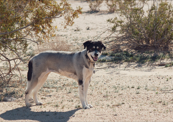 dog in desert