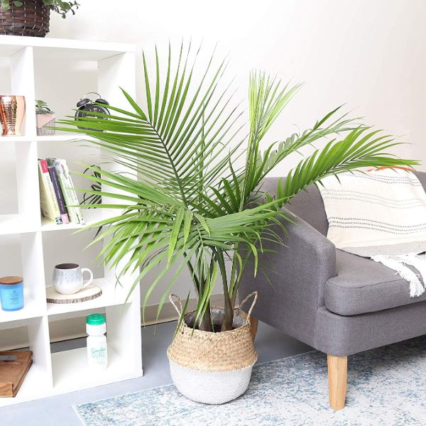 costa-farms-palm-tree-intentional-apartment