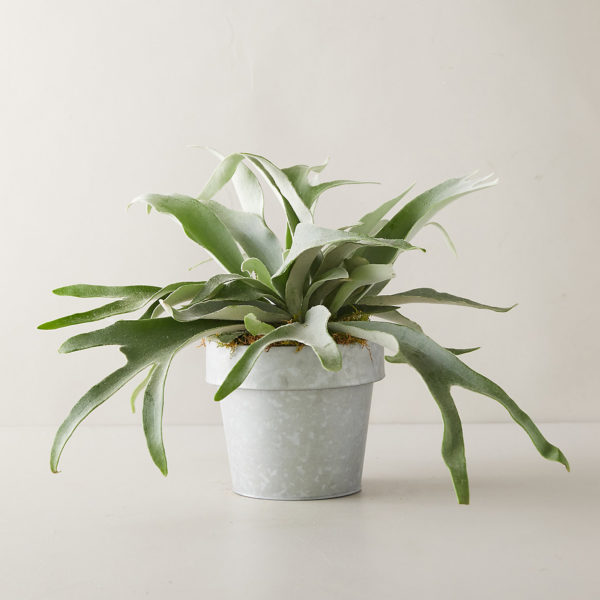 staghorn-fern-work-from-home-spaces